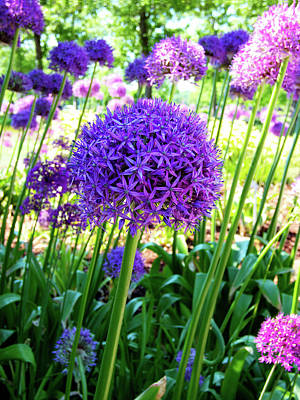 Photograph - Allium Everywhere by Leslie Montgomery