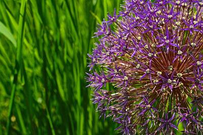 Photograph - Allium Explosion by Tim Good