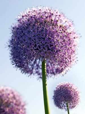 Violet Photograph - Allium Flower by Tony Cordoza
