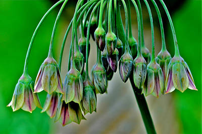 Allium Original