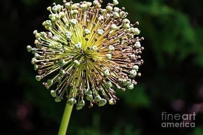 Photograph - Allium Gone By by Elizabeth Dow