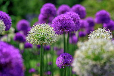 Photograph - Allium In The Garden by Rick Berk