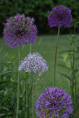 Photograph - Allium by Joanne Smoley