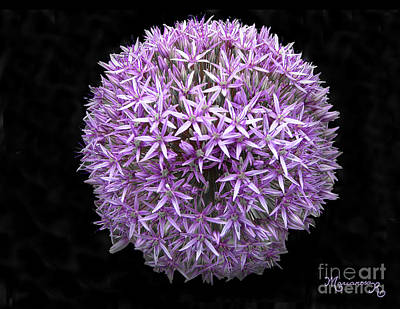 Photograph - Allium by Mariarosa Rockefeller