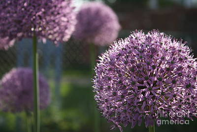 Photograph - Allium by Mary-Lee Sanders
