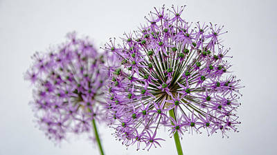 Photograph - Allium Pair by Susan  McMenamin