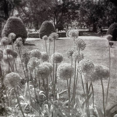 Photograph - Allium Purple Flowers In The Boston Public Garden by Joann Vitali