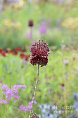 Photograph - Allium Red Mohican by Tim Gainey