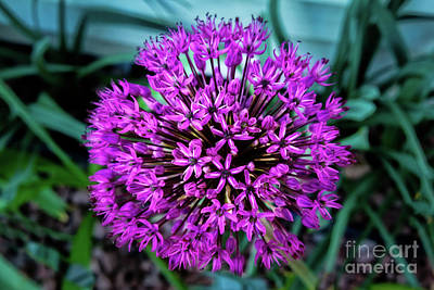 Photograph - Allium by Robert Bales