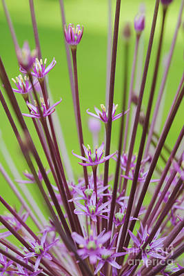Photograph -  Allium Schubertii by Tim Gainey