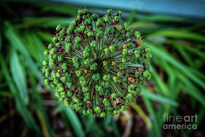 Photograph - Allium Seed Head by Robert Bales