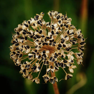 Photograph - Allium Seed Pod by Inge Riis McDonald