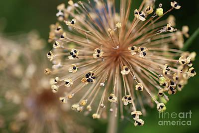 Photograph - Allium Seeds by Karen Adams