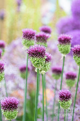 Photograph - Allium Sphaerocephalon by Tim Gainey