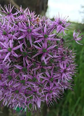 Landscape Photograph - Allium Stars  by Kathy Spall