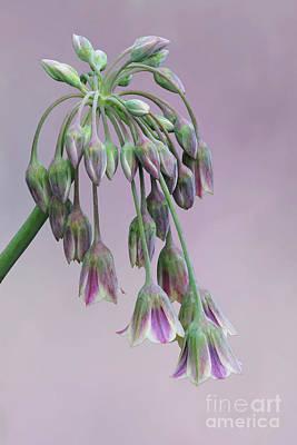 Photograph - Allium Summer Bells V2 by Judy Whitton