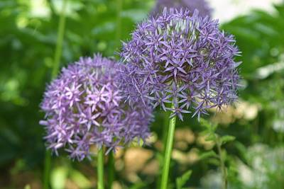 Photograph - Allium by Suze Humeston