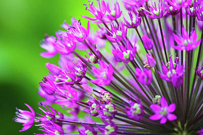 Photograph - Allium by Tiffany Erdman