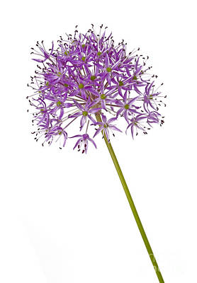 Photograph - Allium by Tony Cordoza