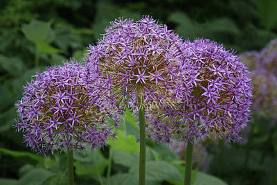 Photograph - Allium - Trio by Nikolyn McDonald