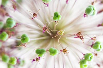 Photograph - Allium Zoom by Diane Fifield