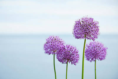 Photograph - Alliums 1 by Garden Gate