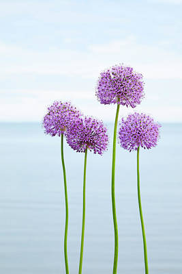Alliums 2 Art Print