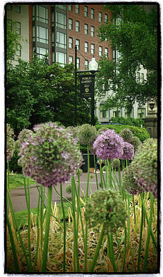 Photograph - Alliums In The Boston Public Garden by Joann Vitali