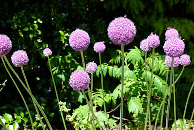 Photograph - Alliums by Mark Severn