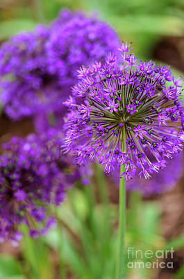 Photograph - Alliums by Tamara Becker