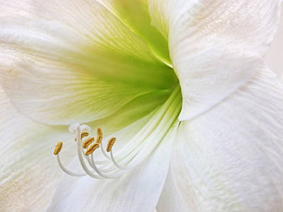 Alluring Amaryllis Art Print by Gill Billington
