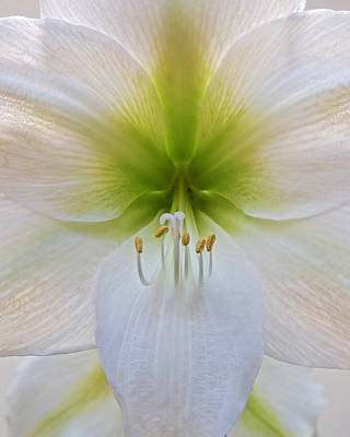 Amarylis Photograph - Alluring Amaryllis Vertical by Gill Billington