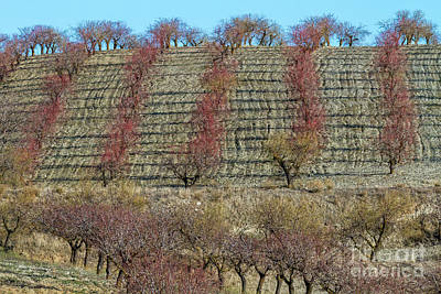 Photograph - Almond Agriculture by Heiko Koehrer-Wagner