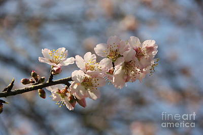 Photograph - Almond Blossom by Jackie Mestrom