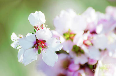 Photograph - Almond Blossom by Jim And Emily Bush