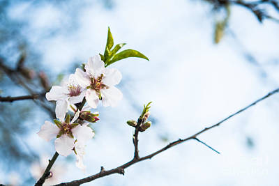 Photograph - Almond Blossom by Kaitlyn Suter