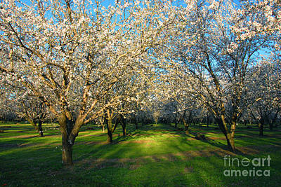Almond Orchard Art Print
