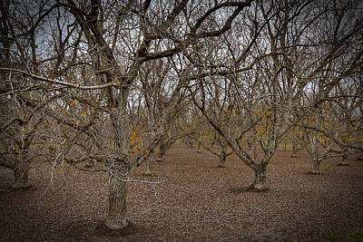 Photograph - Almond Orchard by Robert Melvin