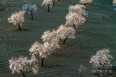 Photograph - Almond Trees In Blossom by Heiko Koehrer-Wagner