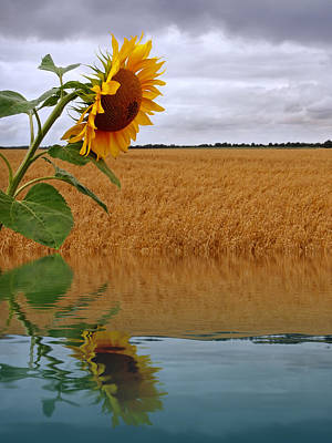 Photograph - Almost Autumn - Sunflower Harvest Reflections by Gill Billington