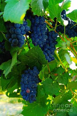 Blue Grapes Photograph - Almost Ready For Harvest  by Jeff Swan