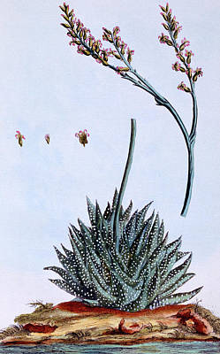 Aloe Painting - Aloe by Pierre-Joseph Buchoz