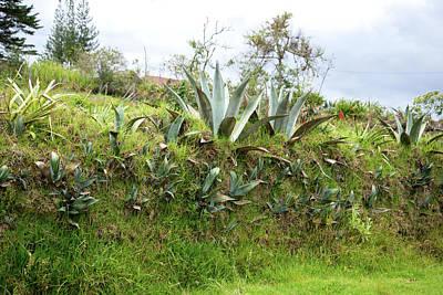 Digital Art - Aloe Plants In Huancas by Carol Ailles