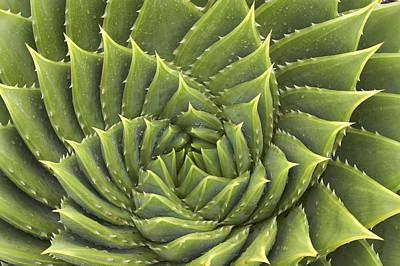 Aloe Polyphylla Art Print by Geoff Bryant