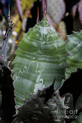 Photograph - Aloe Striations by Kathy McClure