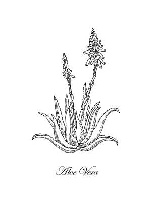 Floral Drawings - Aloe Vera Botanical Drawing  by Irina Sztukowski
