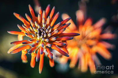 Photograph - Aloe Vera Flower Genoves Park Cadiz Spain by Pablo Avanzini