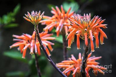 Photograph - Aloe Vera Flowers Genoves Park Cadiz Spain by Pablo Avanzini