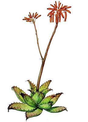Painting - Aloe Zebrina by Heidi Kriel