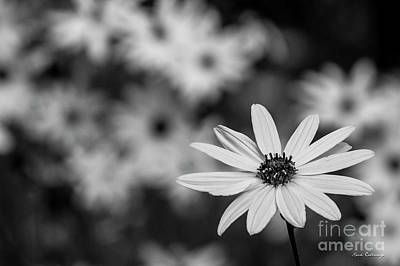 Photograph - Alone B W Black Eyed Susan Flower Art by Reid Callaway